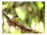 Slate-throated Whitestart - Myioborus miniatus