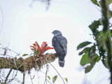 Gray-headed Kite - Leptodon cayanensis