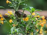 Rusty flowerpiercer (Diglossa sittoides)