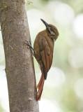 Plain-brown woodcreeper -Dendrocincla fuliginosa