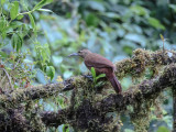 Duida woodcreeper (Lepidocolaptes duidae)