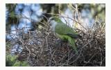 Quaker Parrot - Myiopsitta monachus