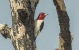Redheaded Woodpecker - Melanerpes erythrocephalus