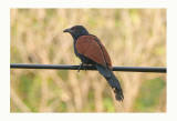 Greater Coucal or Crow Pheasant - Centropus sinensis