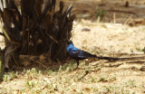 long-tailed glossy starling - Lamprotornis caudatus