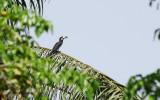 African Pied Hornbill - Tockus fasciatus