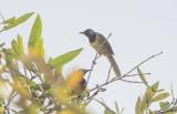 Oriole Warbler