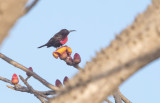 Scarlet-chested Sunbird Chalcomitra senegalensis