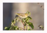 Little Weaver - Ploceus luteolus