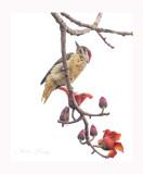 fine-spotted woodpecker (Campethera punctuligera)
