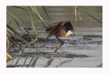 African Jacana (Actophilornis africana)