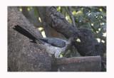 Western Grey Plantain Eater  Crinifer piscator