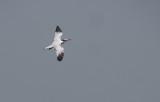 West African Crested Tern - Thalasseus albididorsalis