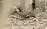 Stone Partridge - Ptilopachus petrosus