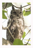 Greyish Eagle-Owl or Vermiculated Eagle-Owl  - Bubo cinerascens