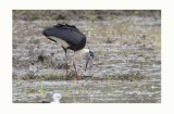 Wooly - necked Stork - Ciconia episcopus