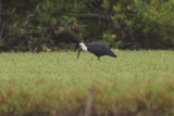 African Wooly necked Stork -Ciconia episcopus microscelis