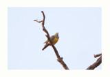 Bruce's green pigeon - Treron waalia