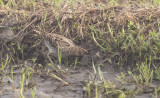 Pintailed Snipe - Gallinago stenura
