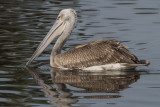 Pink Backed Pelican - Pelecanus rufescens