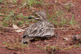 Indian Stone Curlew Burhinus indicus