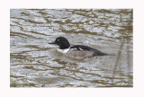 Hooded Merganser/Goldeneye Hybrid