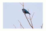 Bronze-tailed Glossy-Starling - Lamprotornis chalcurus