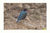 Purple Glossy  Starling - Lamprotornis purpureus