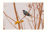 Great Blue -eared Glossy Starling - Lamprotornis chalybaeus
