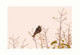 Savanna Drongo - Dicrurus adsimilis