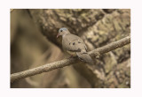 Blue-spotted Wood Dove - Turtur afer