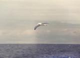 Wandering - Albertross - Diomedea exulans