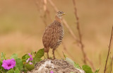 Double - spurred Francolin