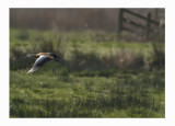 Ruddy shelduck - Tadorna ferruginea