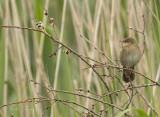 River warbler (Locustella fluviatilis)