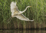 Great White Egret - Ardea alba alba