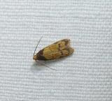 Twirler moth (Gerdana caritella), #1144
