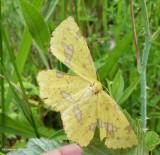 Crocus geometer moth (xanthotype)