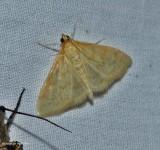 Crambid snout moth (Hahncappsia)