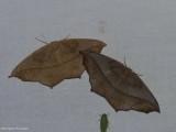 Large maple spanworm  (Prochoerodes lineola), #6982