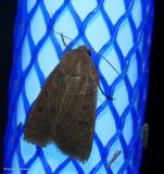 Waxed sallow moth (Chaetaglaea cerata), #9948