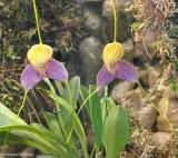 Masdevallia caudata orchid
