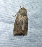 Speckled green fruitworm moth (Orthosia hibisci), #10495