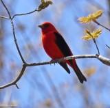 Cardinals and Allies