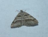 Curve-lined angle moth  (Digrammia continuata), #6362