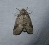 Variable oakleaf caterpillar moth (Lochmaeus manteo), #7998