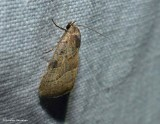 The wedgeling moth (Galgula partita ), #9688