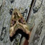 Olive angle shades moth (Phlogophora iris), #9546