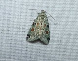 Red-spotted glyph moth  (Maliattha concinnimacula), #9050