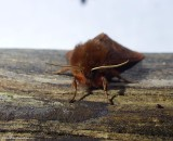 Ruby tiger moth (Phragmatobia fuliginosa), #8156